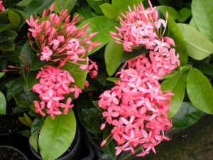 Ixora Pink Malay flower