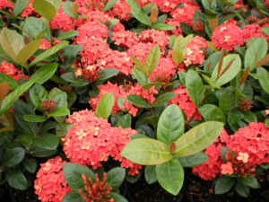 Ixora Orange Dwarf flower