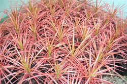 Dracaena Colourama
