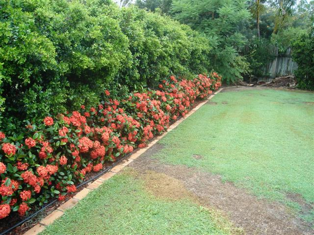 Ixora Prince of orange dwarf garden