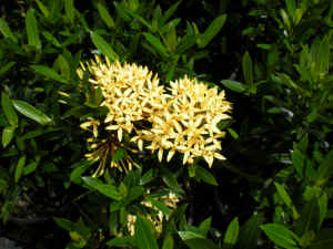 Ixora Sunshine flower