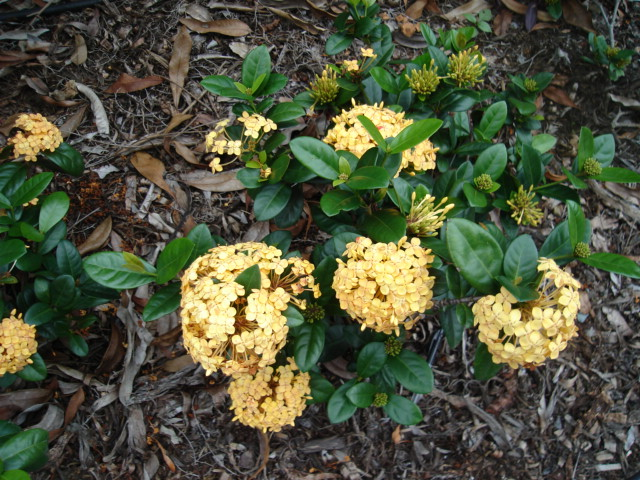 Ixora Yellow Dwarf Flower